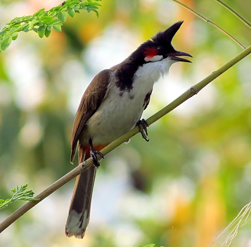 các loại chim sáo