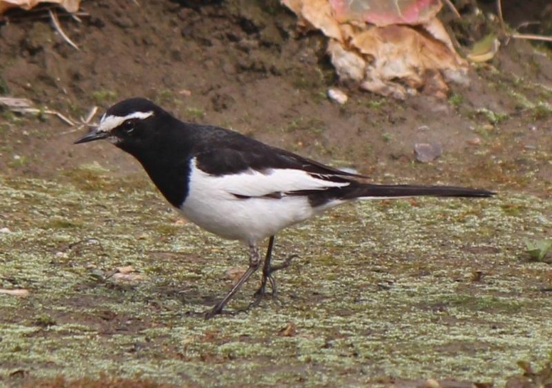 các loài chim ở việt nam