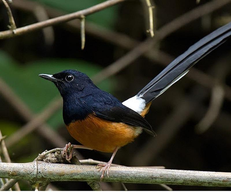 các loài chim hót hay
