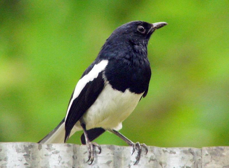 các loài chim cảnh