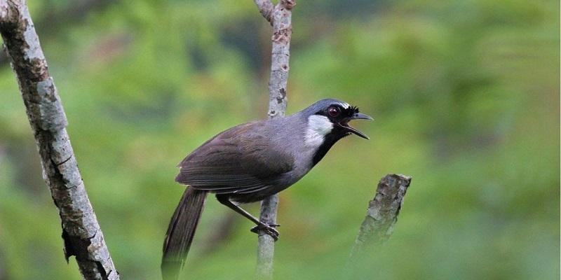 các loại chim cảnh hót hay