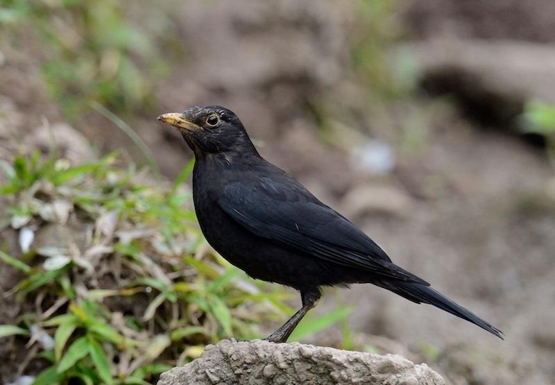 các loại chim cảnh thường nuôi
