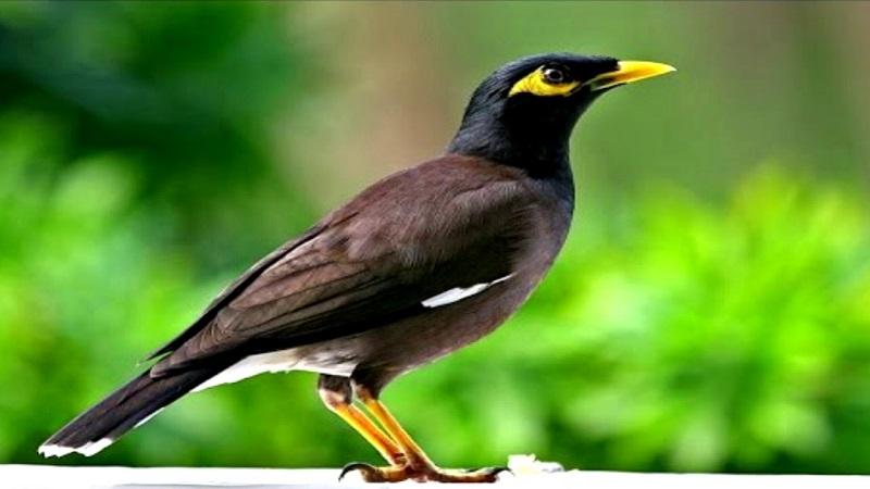 các loại chim hót hay nhất