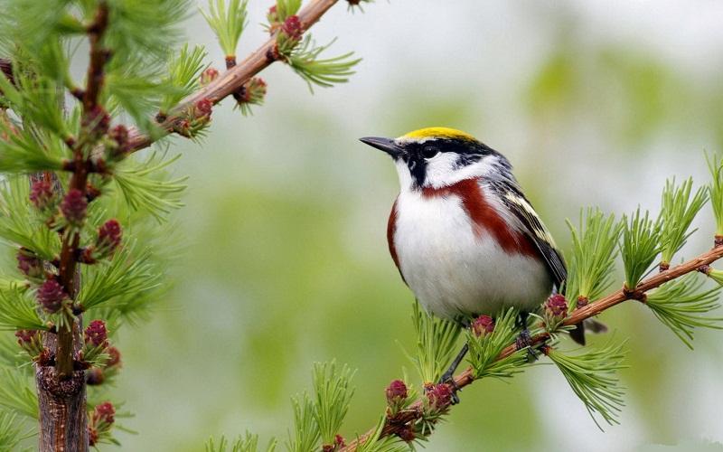 các loài chim cảnh nhỏ