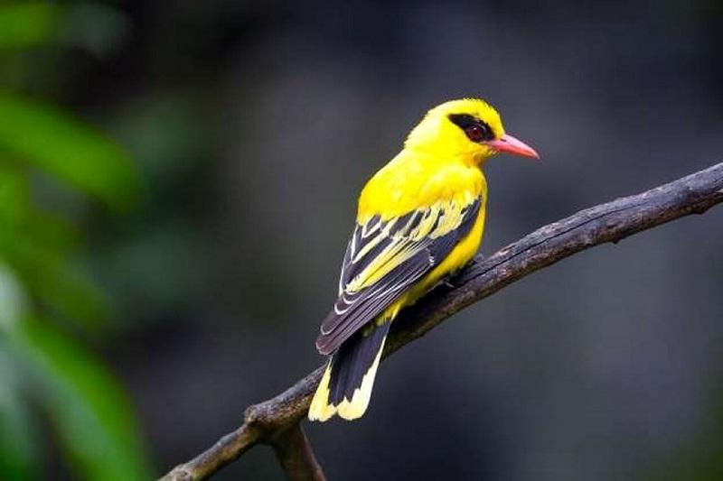 các loại chim cảnh ở việt nam