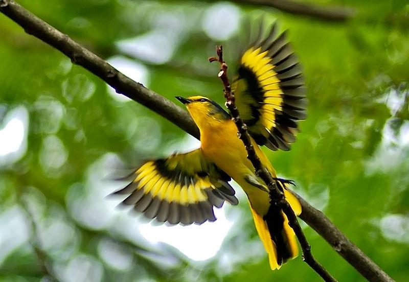 chim hót hay nhất