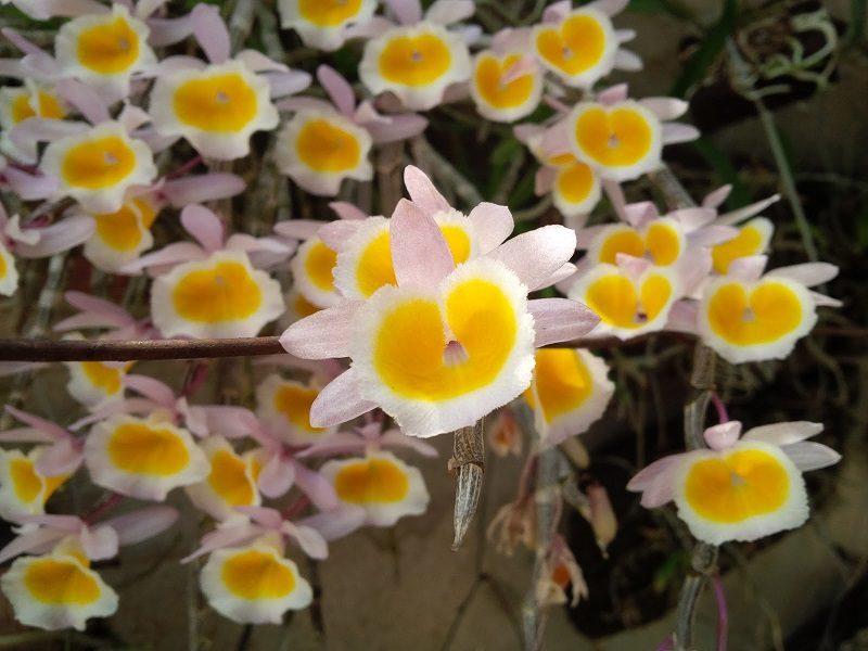 tên các loại hoa phong lan rừng