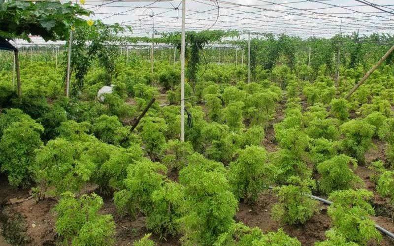 cây nhân sâm đất