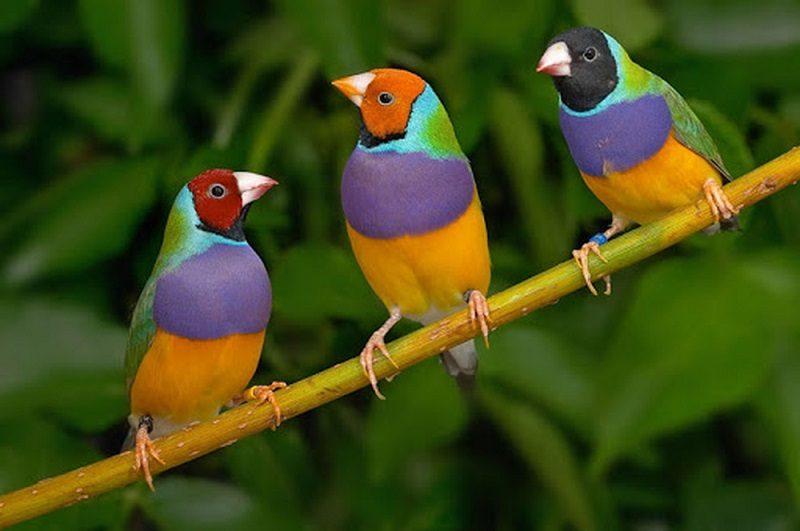 các loại vẹt biết nói ở việt nam
