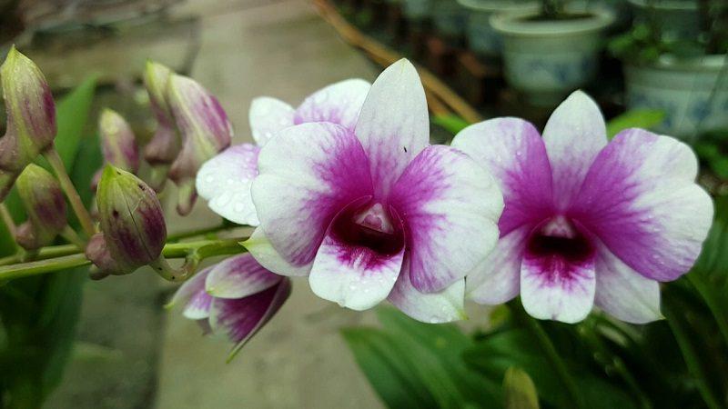 những loại phong lan dễ trồng