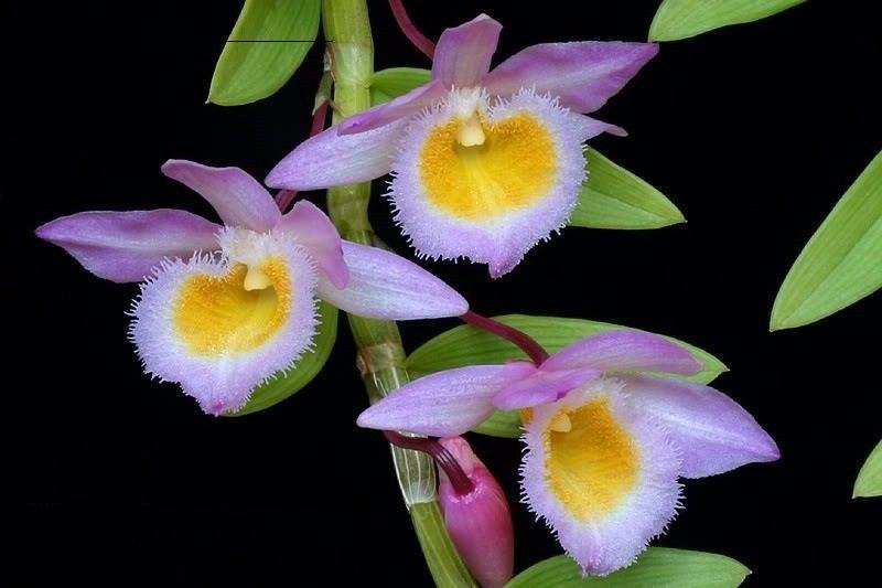 tên các loại hoa lan