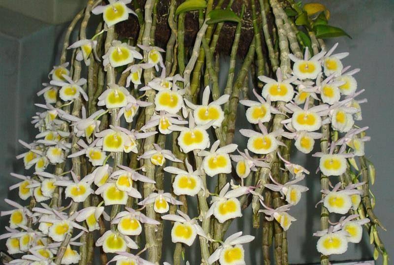 các loại lan rừng dễ trồng