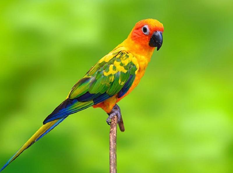 các loài vẹt ở việt nam