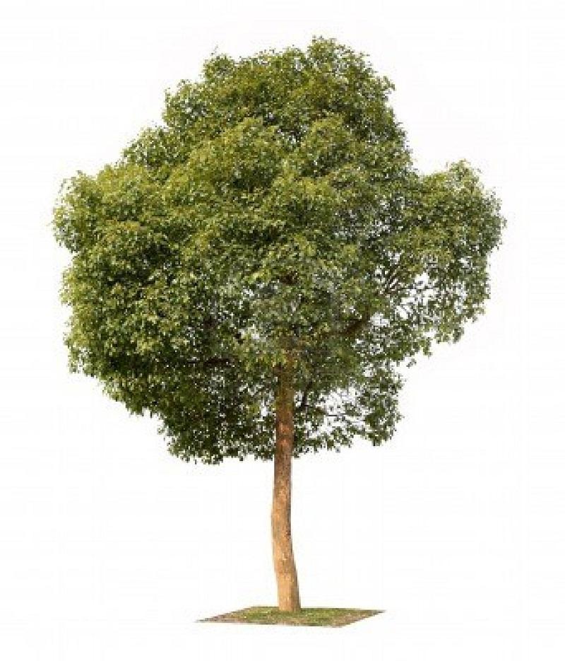 các loại cây bóng mát