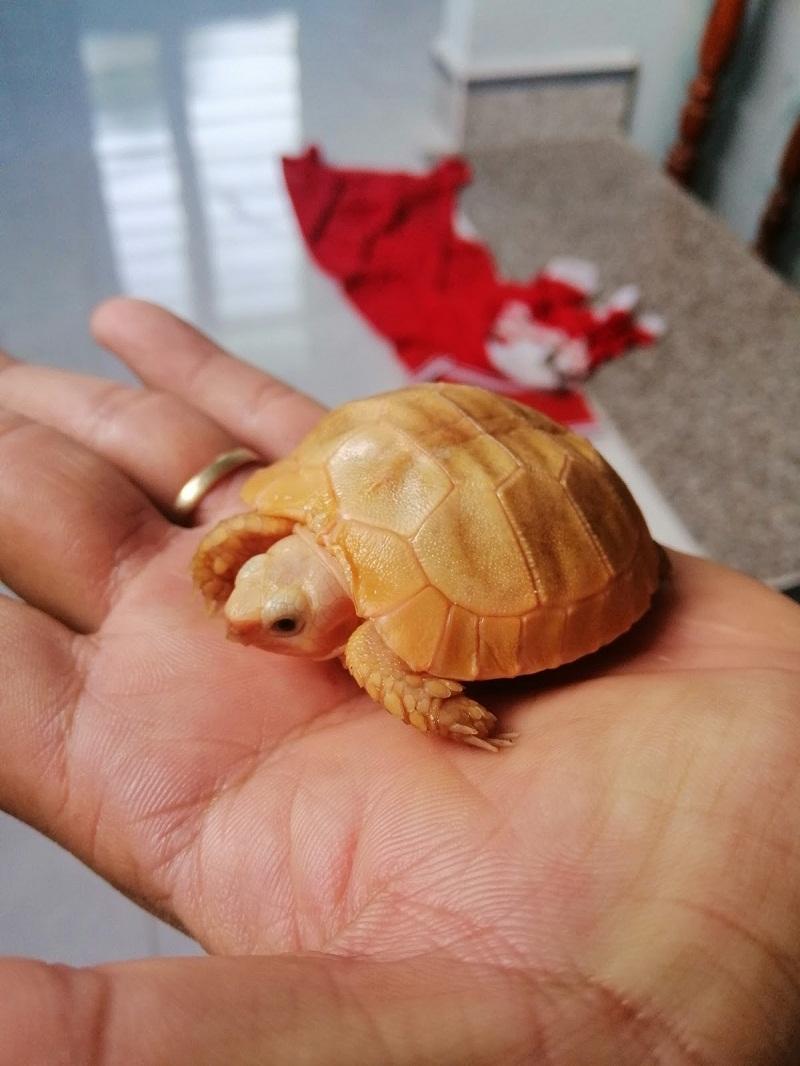 cách nuôi rùa núi vàng