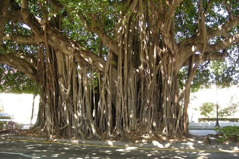 Cay Bo De Moc Trong Nha Tot Hay Xau
