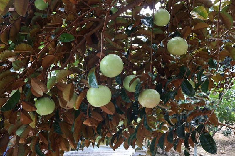 cây bóng mát ít rụng lá