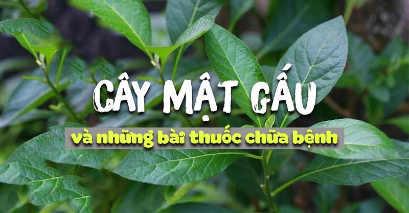 Cay Mat Gau Co Tac Dung Chua Benh Gi
