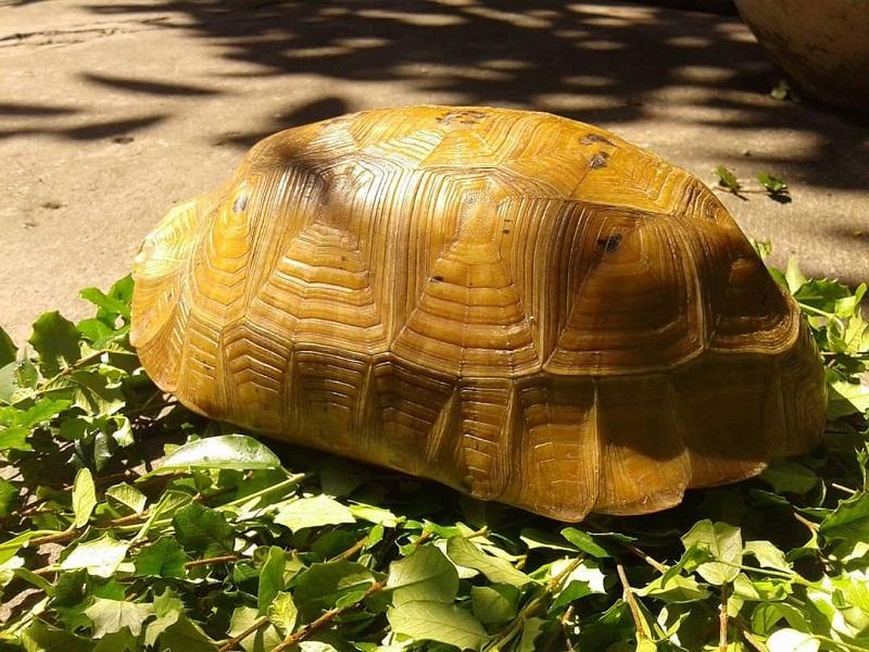 giá rùa vàng