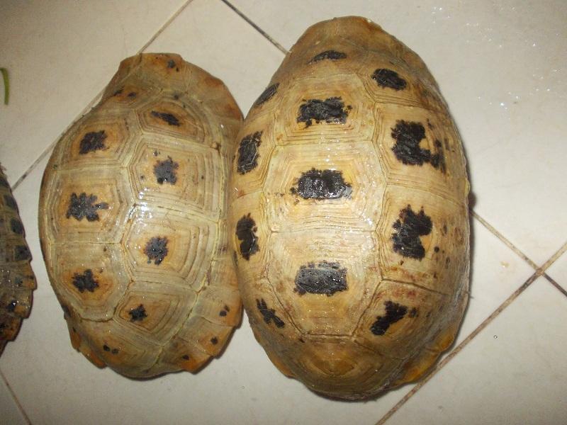 rùa vàng việt nam