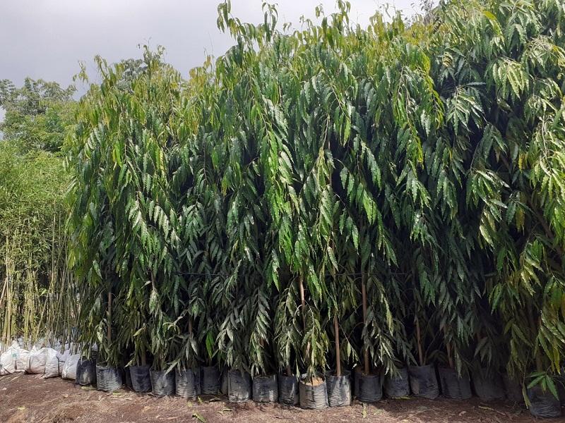trồng cây bóng mát trước nhà