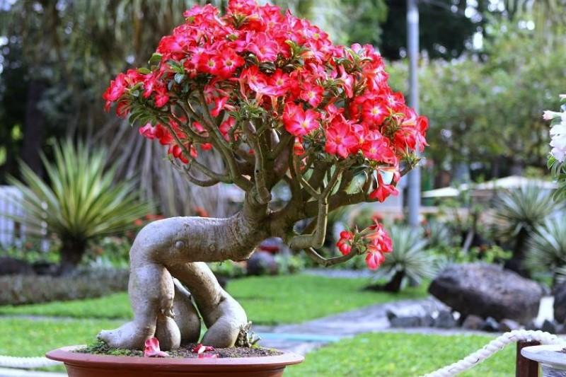 Trong Cay Su Truoc Nha Co Tot Khong