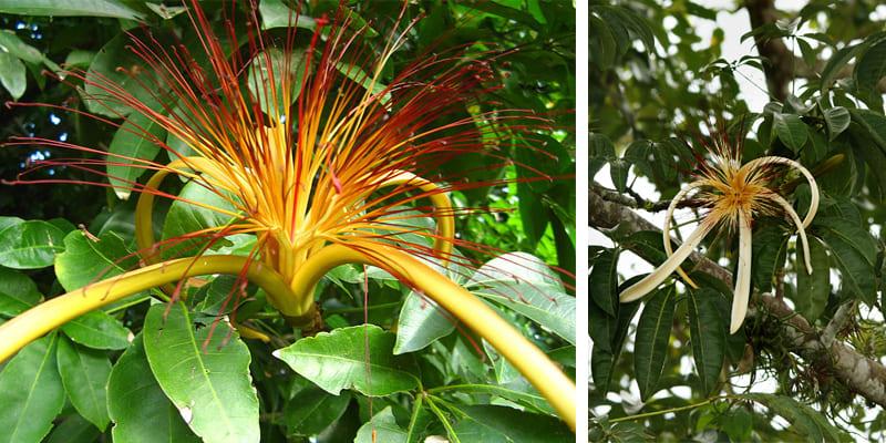 hoa cây kim ngân