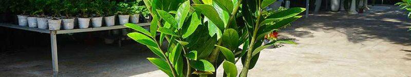 Một chậu cây trắng trồng cây kim tiền xanh tốt