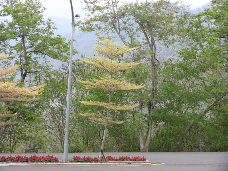 cây bàng cảm thạch