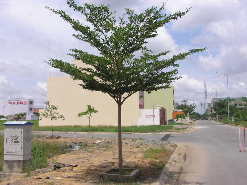 cây công trình bàng đài loan được trồng ở ven đường mới mở