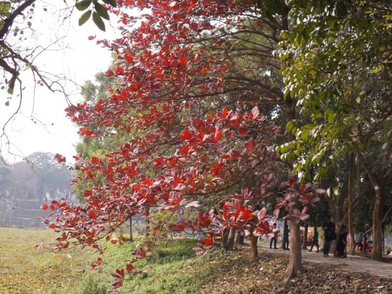 cây bàng lá đỏ