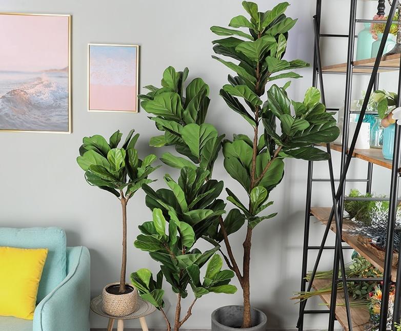 cây bàng singapore trang trí