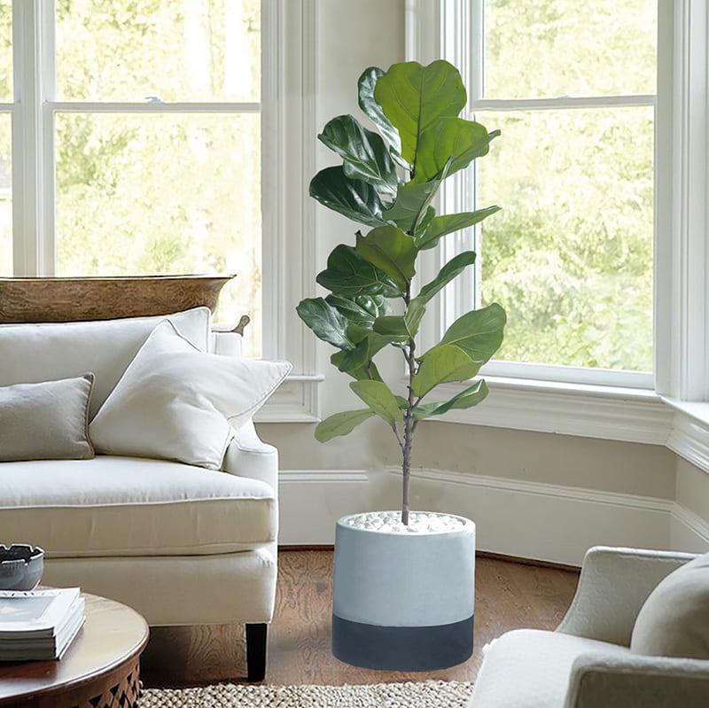 cây bàng singapore trồng trong nội thất trắng