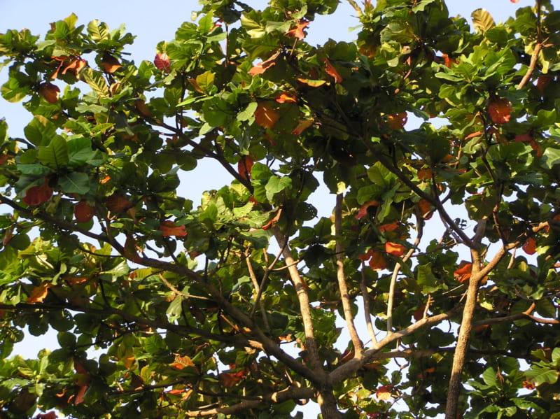 cây bàng thay lá