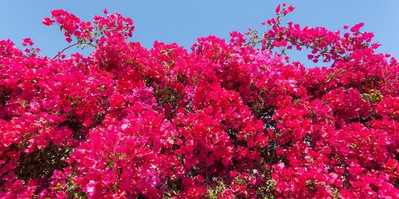 cây hoa giấy hoa đỏ