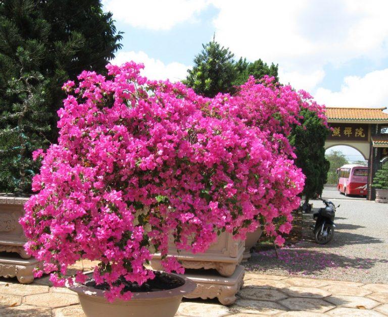 cây hoa giấy thái màu tím hồng trồng trong sân