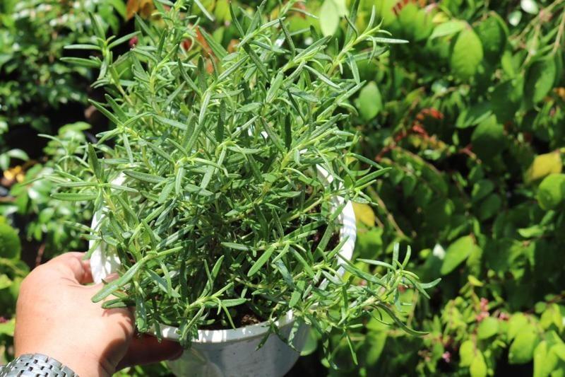 Cây hương thảo xanh tốt đặt tại vườn