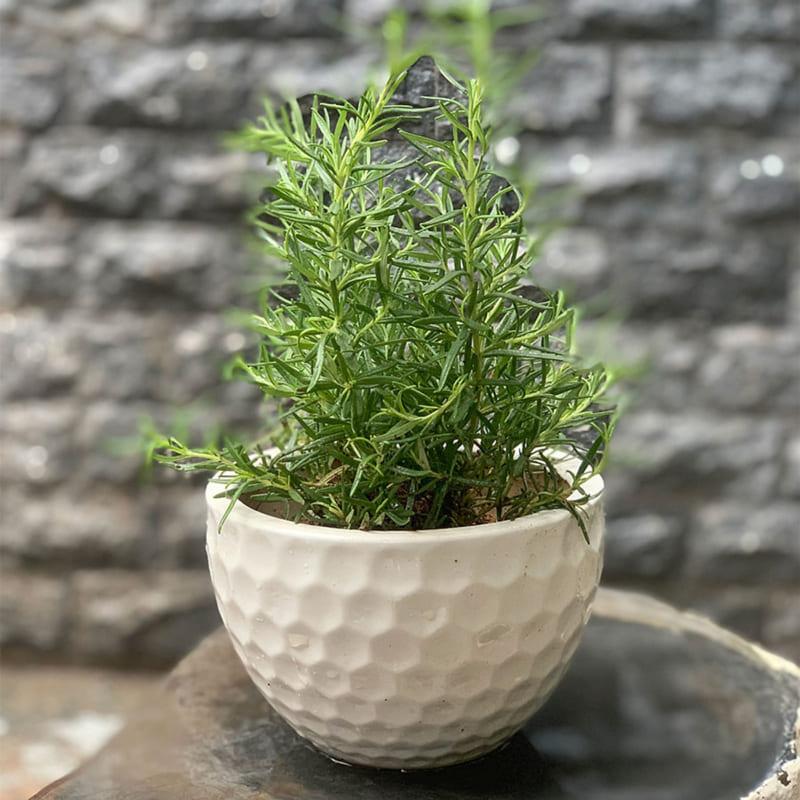 Cây hương thảo để bàn