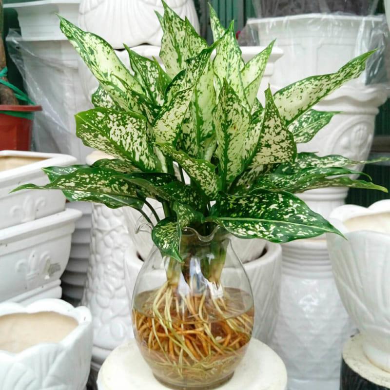Cây ngọc ngân thủy sinh với bộ rễ đẹp