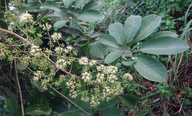 Cây ngũ gia bì và hoa
