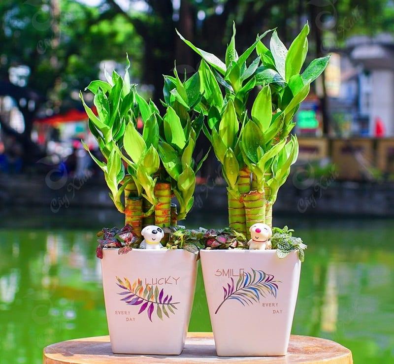 Cây phát tài được trồng trong chậu