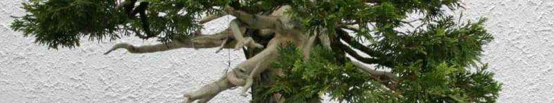 cây tuyết tùng