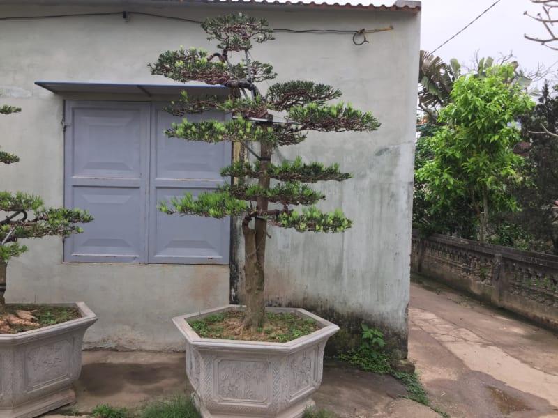 Cay Tung La Han 4 800x600