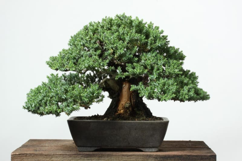 Cây nguyệt quế bonsai