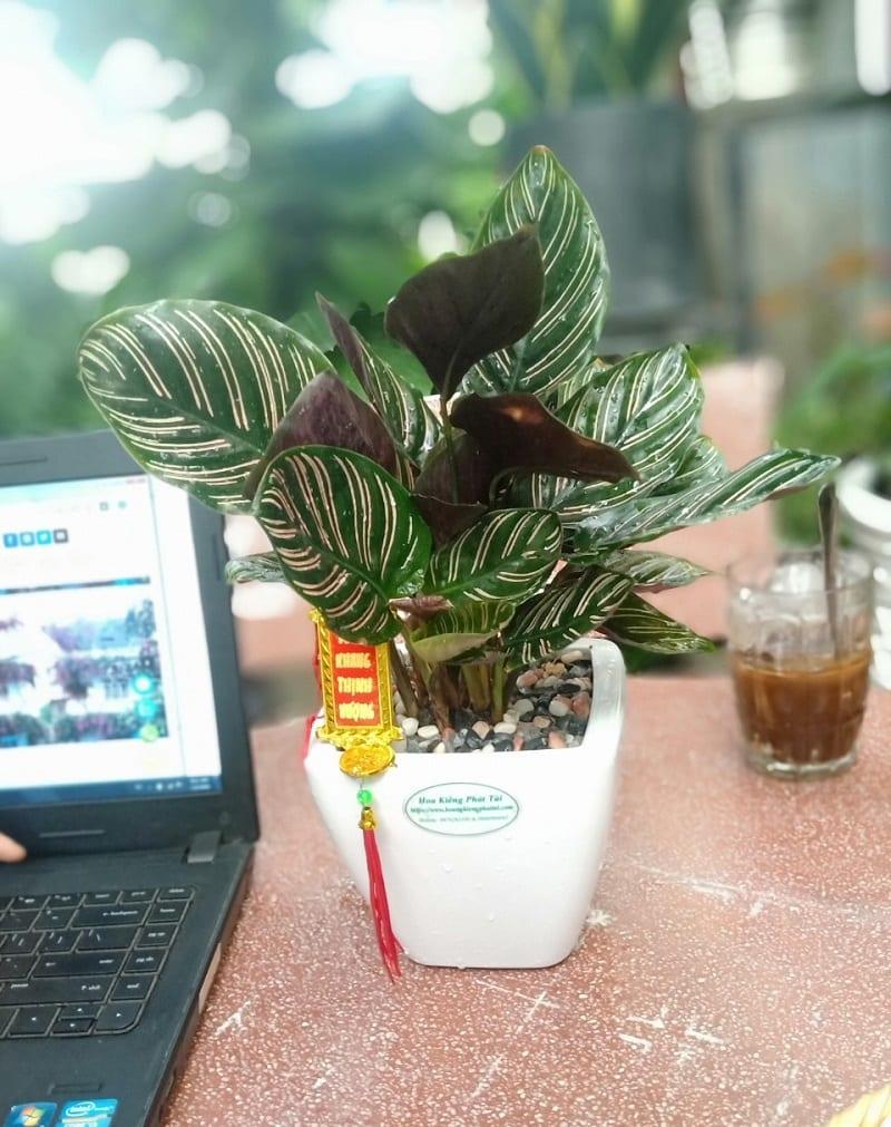 Cây đuôi công tím trồng trong chậu sứ trắng nhỏ để trên bàn làm việc