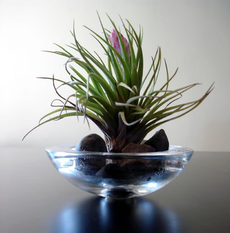 Cây lọc không khí được trồng trong bát thuỷ tinh, có lá xanh, dài và mỏng, hoa màu tím