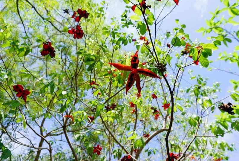 Những quả sang chín đỏ bung nở để lộ những hạt sang đen tuyền giữa nền lá xanh, cao