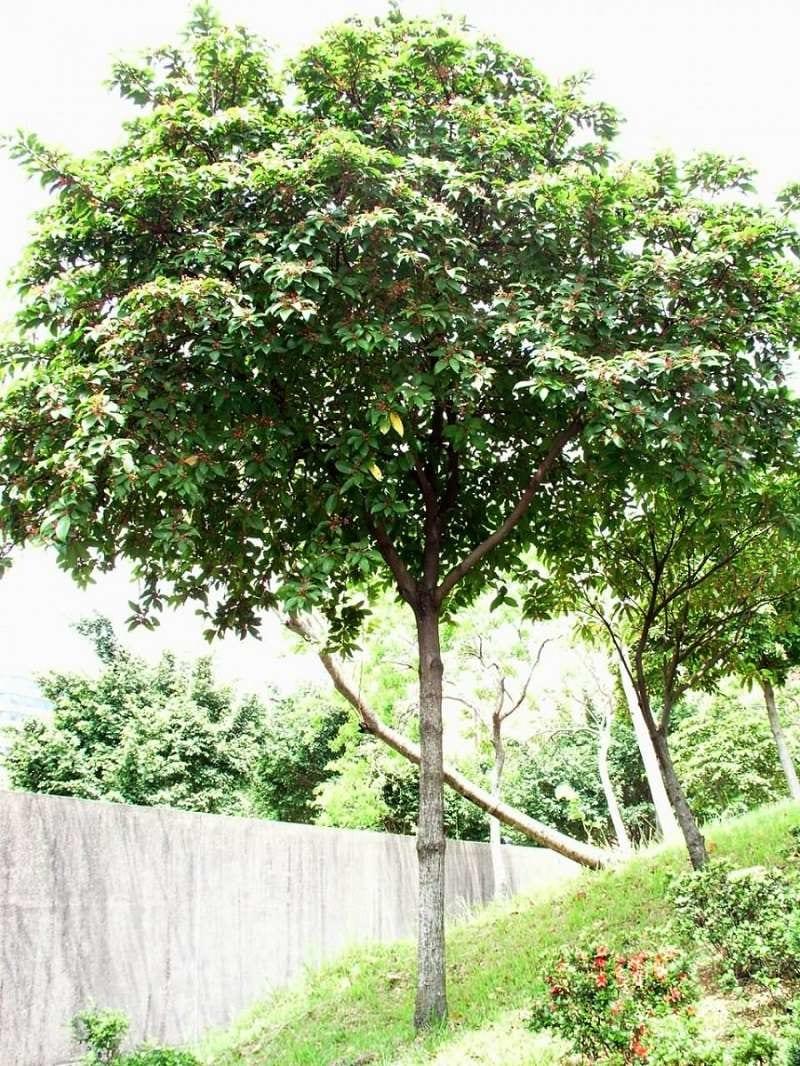 Cây sang cao lớn, mọc thẳng, tán lá xanh rậm rạp, rộng lớn được trồng trong vườn cây