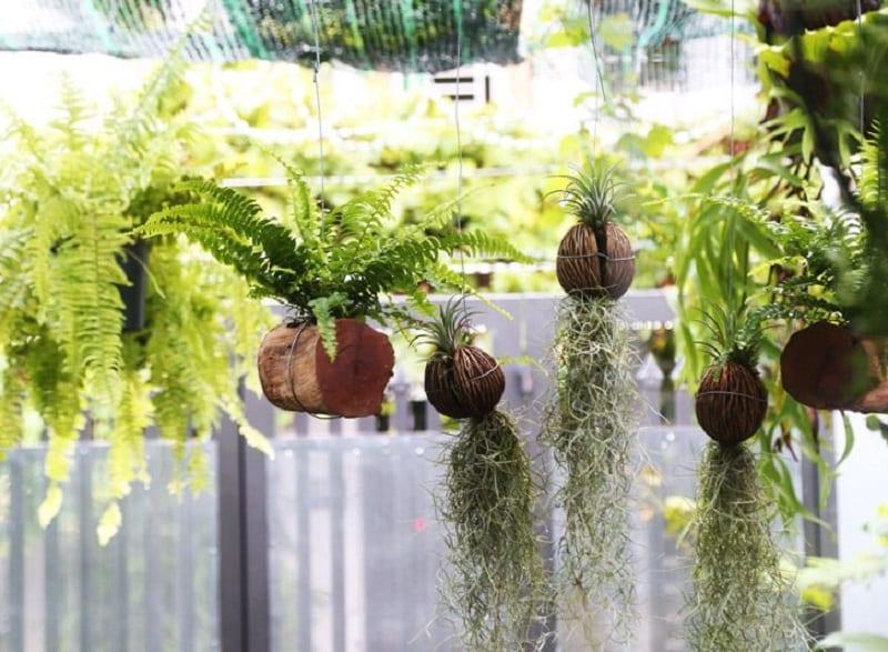 Cây không khí mọc dốc ngược xuống khi được treo lên giàn cây ở sân vườn trong nhà cùng với cây dương xỉ và nhiều cây khác
