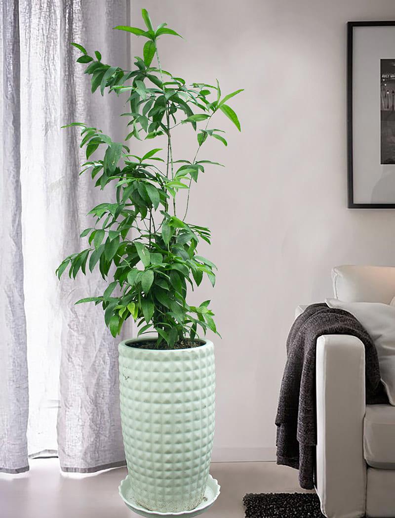 Cây trúc nhật xanh tươi trồng ở chậu sứ trắng đặt trong nhà